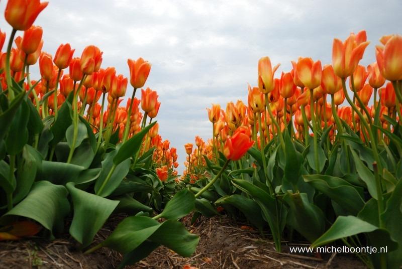 Tulpen bij Petten